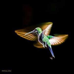 hummingbird medium_7952552148