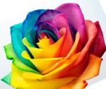 tilted rose
